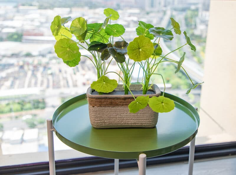 Cement Potted Artificial Round Leaf Live Gotu Kola Herb