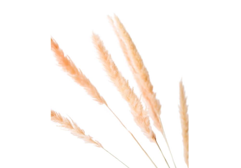 Pink Dried Pampas Grass CA-PG103